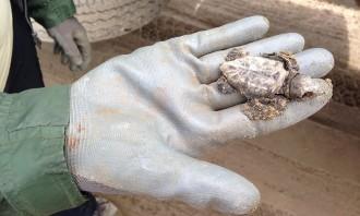 Vés a: Constatada la reproducció de la tortuga babaua al delta de l'Ebre durant el 2017