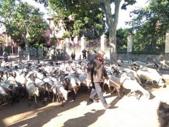 Vés a: El trafegut viatge de 400 ovelles per passar l'estiu