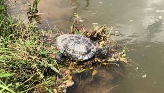 Vés a: La tortuga de Florida, una amenaça creixent a l'equilibri natural de l'ecosistema bagenc