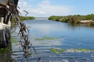 Vés a: Alliberen més de 55.000 exemplars d'anguila a les llacunes del delta de l'Ebre