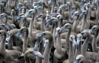Vés a: La colònia de flamencs del delta de l'Ebre es recupera després de quatre anys de reproducció adversa