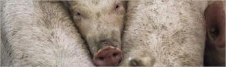 Vés a: La Generalitat revisarà les autoritzacions ambientals de 800 grans explotacions ramaderes