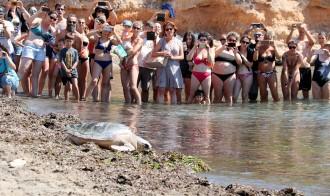 Vés a: Cinc tortugues marines recuperades pel CRAM tornen a mar