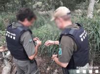 Vés a: S'inicia la campanya de marcatge de la població de gavina corsa