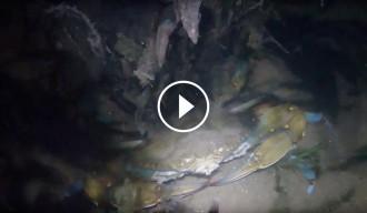 Vés a: VIDEO El cranc blau remunta el riu Ebre a tota velocitat