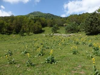Vés a: La genciana groga al Montseny, de l'abundància a gairebé l'extinció