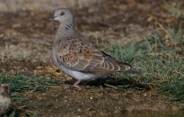 Vés a: El Delta de Birding Festival destinarà els seus beneficis a estudiar el declivi de la tórtora europea