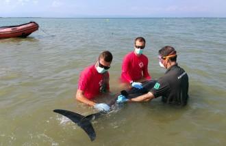 Vés a: Jornada intensa per a intentar salvar un dofí encallat a la platja de Riumar