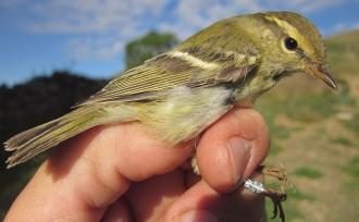 Vés a: Anellen més de 10.000 ocells en vuit anys de projecte «MigraVallFosca»