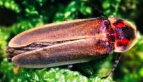 Vés a: Confirmen per primer cop la reproducció de la perillosa granota toro al delta de l'Ebre