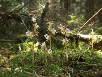 Vés a: Detectada una espècie d'orquídia considerada rara i en perill d'extinció a l'Alt Urgell