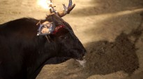 Vés a: Animalistes celebren que el Govern haja esterilitzat i alimente regularment els bous de l'illa de Vinallop