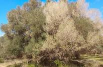 Vés a: La Taula del Sénia vol multiplicar per set la producció de les oliveres mil·lenàries