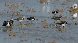 Vés a: La població hivernal d'ocells aquàtics al delta de l'Ebre disminueix per l'assecament d'arrossars