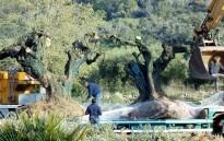 Vés a: L'espoli d'oliveres mil·lenàries s'accelera al Montsià amb la tramitació de la llei per protegir-les