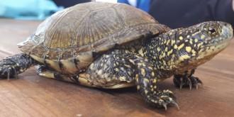 Vés a: Desperten de la hivernada les tortugues d'estany a l'Aula Plegadis
