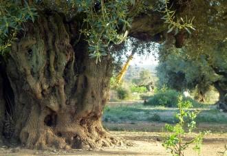 Vés a: La Taula del Sénia denuncia que tres de les oliveres espoliades a Godall eren mil·lenàries