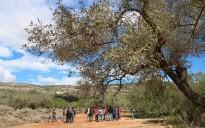 Vés a: Reclamen una moratòria per a frenar la l'espoli de les oliveres monumentals