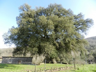 Vés a: Es presenta una nova guia d'arbres singulars amb història de la Garrotxa