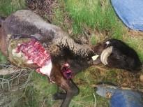 Vés a: Un nou atac del llop a Odèn, al Solsonès, mata tres ovelles