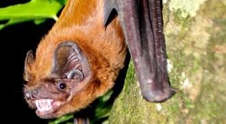 Vés a: Les ratapenades gegants migren des del centre de França a la Garrotxa per a aparellar-se