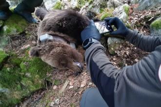 Vés a: Ecologistes en Acció exigeix que s'investigui a fons la mort de l'ós Cachou