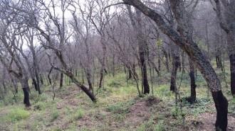 Vés a: El sector forestal defensa el tractament aeri contra l'eruga del suro