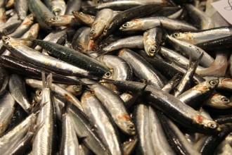 Vés a: El canvi global afecta el greix i la salut del peix blau de la Costa Brava, segons un estudi de la UdG i l'IRTA