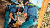 Vés a: Ovelles ferides per gossos després d'una allau de visitants al Montseny