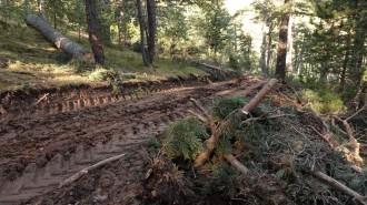 Vés a: Denuncien una tala d'arbres en una zona de cant del gall fer al Cadí-Moixeró