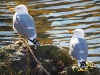 Vés a: Lleuger augment del cens d'aus aquàtiques hivernants a la Garrotxa