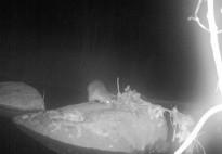 Vés a: VÍDEO La llúdriga es reprodueix per segon  any consecutiu a la conca de la Tordera