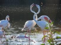 Vés a: Comença una nova campanya de control de la població de gavians a Olot