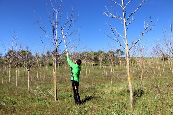 Vés a: Impulsen un projecte per a produir fusta d'alta qualitat en camps i boscos de Catalunya