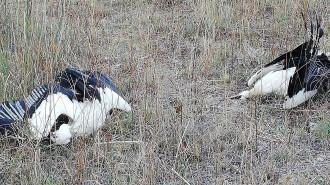 Vés a: Unió de Pagesos denuncia l'electrocució d'una vintena de cigonyes al Bages