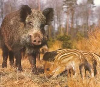 Vés a: Unió de Pagesos critica que només s'hagi declarat l'emergència cinegètica del senglar en tres àrees de caça