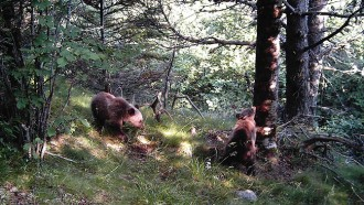 Vés a: Ipcena diu que la mort d'una óssa a Viella podria ser obra de furtius