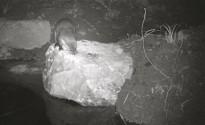 Vés a: Alliberament de tortugues autòctones a l'estany de Banyoles