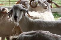 Vés a: Slow Food recupera el 'pa del Pamano' que es feia al Pirineu