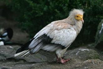 Vés a: Un aufrany, espècie protegida, mor electrocutat al Lluçanès