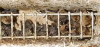 Vés a: Troben el primer ratpenat argentat català