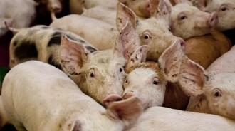 Vés a: La peculiar marca que ha creat Alcarràs per promocionar la matança del porc