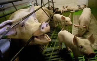 Vés a: El Síndic, sobre el sector ramader: «Qui contamina paga»