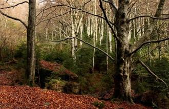 Vés a: El faig i les pinedes de pi roig, més vulnerables al canvi climàtic