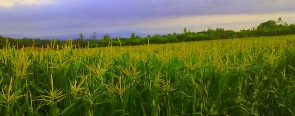 Volen que es permeti la producció de blat de moro ecològic a Catalunya