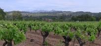 Vés a: Agricultura abona 1,12 milions d'euros a 135 viticultors