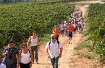 Vés a: Caminada per les vinyes de la capital del Cava