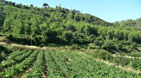 Vés a: Nou règim de plantació de vinya