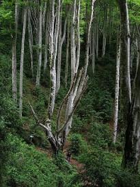 Un nou web mostra tots els arbres monumentals d'Osona