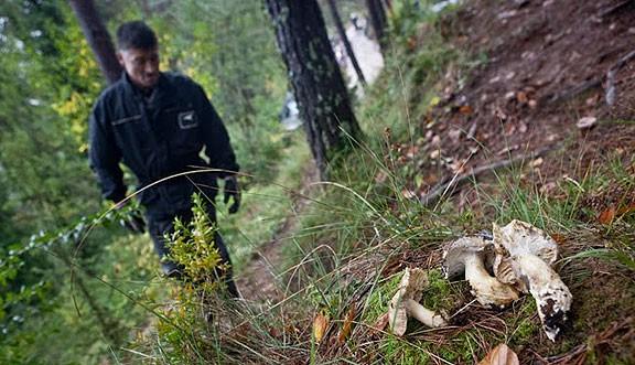 Un propietari forestal d'Osona fa pagar per collir bolets